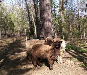 Corriedale Sheep Return to Jeri Lynn's Farm